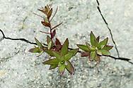 Dwarf Fireweed (Epilobium latifolium) growing in cracks of boulder in Wrangell-St. Elias National Park in Southcentral Alaska. Spring. Afternoon.