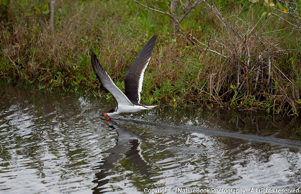 A Black Skimmer has his lower mandible submerged in the water as he flies low and fast to scoop up any fish that may be in its path.  Note the water ripple trail behind the bird.  Merritt Island National Wildlife Refuge in Florida, adjacent to the Kennedy Space Center.