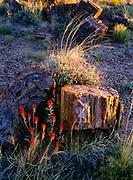 Desert Paintbrush, Castilleja chromosa, and pertrified wood, Rainbow Forest, Petrified Forest National Park, Arizona.