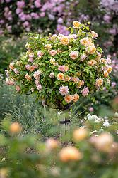 Rosa 'Grace' syn. 'Auskeppy' AGM grown as a standard