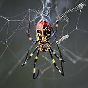 Head-on view of a large female Joro spider (Nephilia clavata), a type of golden silk orb-weaver spider common in Japan during the autumn. From this angle, the spider's chelicerae, or jaws, are clearly visible. These deliver a neurotoxin similar to that of a black widow spider, but not as potent.