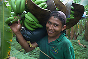 Gavino Barrera, Ngäbe member of COOBANA, carries a recently harvested banana cluster. COOBANA: Finca 51, Changuinola, Bocas del Toro, Panamá. September 3, 2012.