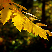 The leaves of this tree have turned a vibrant yellow color. The edges of the leaves and the veins that carry nutrients in the leaves are lit by bright sunlight.