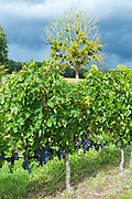 Grapevine bearing grapes in vineyard in the region of St Emilion for red wine production in France