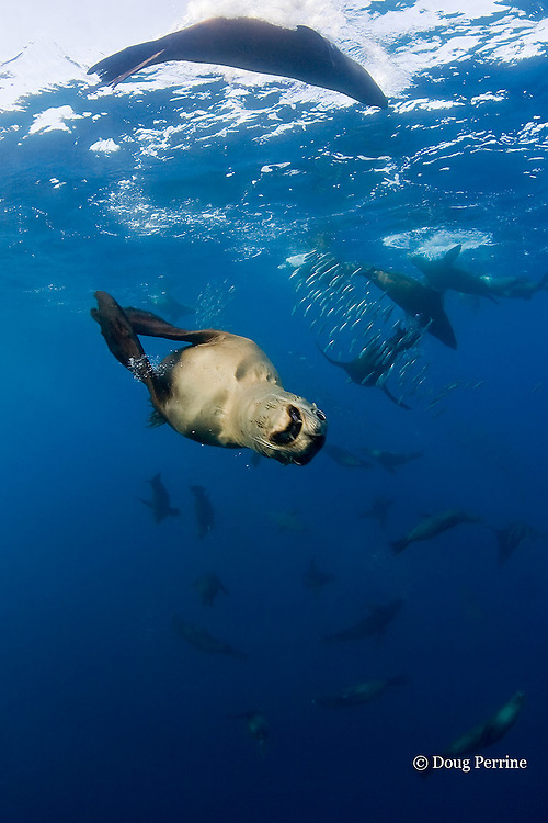 one sea lion charges the photographer with an open mouth threat display, while a group of California sea lions, Zalophus californianus, are feeding on a baitball of sardines or pilchards, Sardinops sagax, off Baja California, Mexico ( Eastern Pacific Ocean )