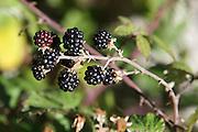 Spain, The Pyrenees Mountains blackberries