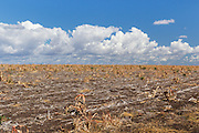 Sorghum crop stubble in farm paddock after harvest under clouds in Clermont, Queensland, Australia <br /> <br /> Editions:- Open Edition Print / Stock Image