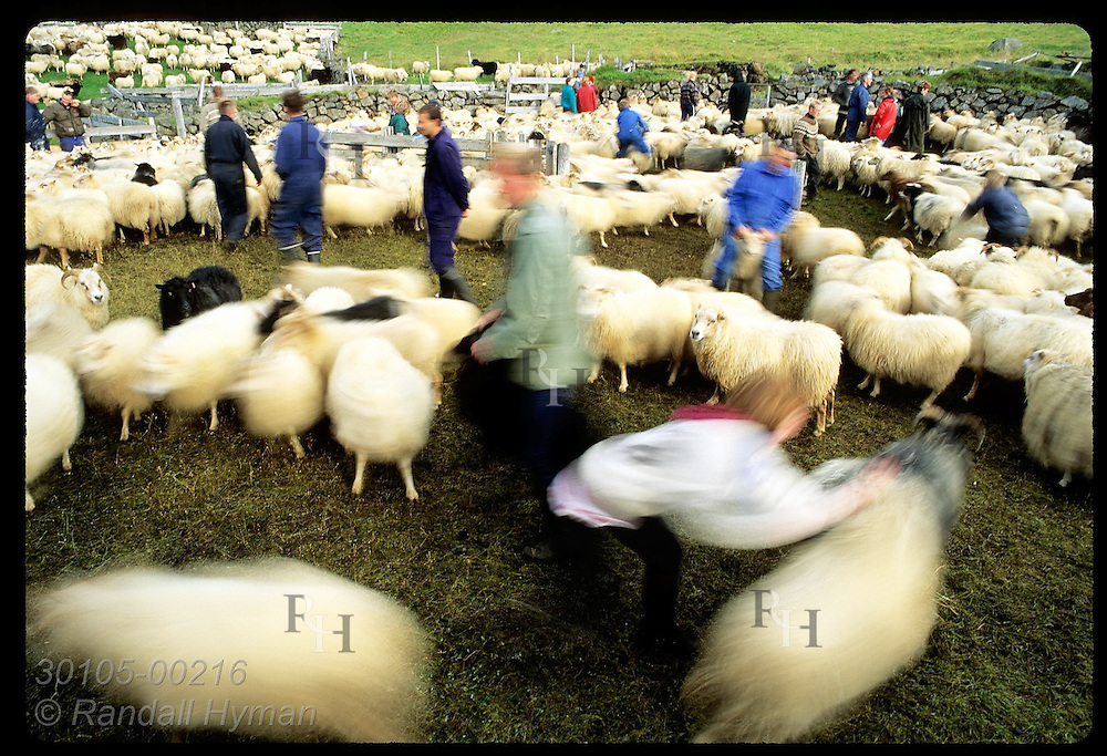 Blur of sheep and farmers fills corral as animals are dragged to each farm's pen; Klaustur. Iceland
