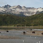 Alaskan Brown Bear (Ursus middendorffi) group in a river searching for salmon. Katmai National Park, Alaska