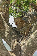 A male Leopard rest in a sausage tree in East African habitat.