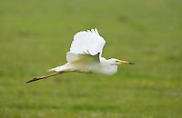 Great white egret (Egretta alba) in flight. Oostvaardersplassen, Netherlands. Mission: Oostervaardersplassen, Netherlands, June 2009.