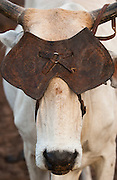 Brazilian Cow with leather eye-shield - used to prevent the cow moving away too quickly<br /> Caatinga Habitat<br /> Bahia State, NE BRAZIL.  South America
