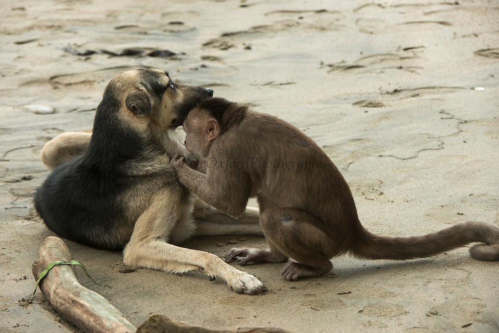 White-fronted Capuchin Monkey (Cebus albifrons) & Dog<br /> Puerto Misahualli, Amazon Rainforest, Napo Province<br /> ECUADOR. South America