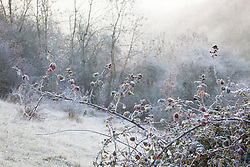 Blackberries on a frosty winter morning at Strawberry Banks Nature Reserve, Gloucestershire. Bramble, Rubus