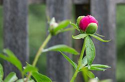 THEMENBILD - eine geschlossene Knospe einer pinken Pfingstrose (Paeonia), aufgenommen am 17. Mai 2018, Kaprun, Österreich // a closed bud of a pink peony roses on 2018/05/17, Kaprun, Austria. EXPA Pictures © 2018, PhotoCredit: EXPA/ Stefanie Oberhauser
