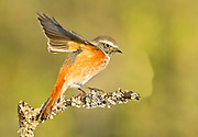 Juvenile redstart (Phoenicurus phoenicurus) perched on a pine tree branch. This bird is considered to be an Old World flycatcher and is found throughout Europe in summer. It migrates to north Africa in winter and feeds predominantly on winged insects. Photographed in Israel, in October
