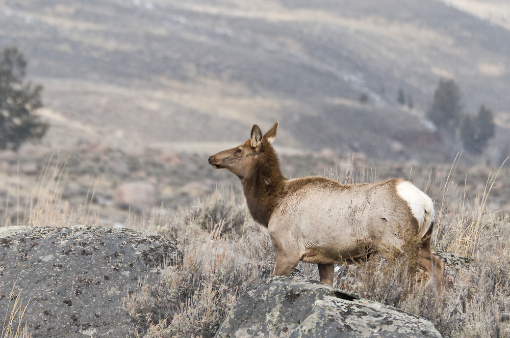 Elk (Cervus canadensis) in Mammoth Hotsprings, Yellowstone National Park, Wyoming.  Photo by William Byrne Drumm.