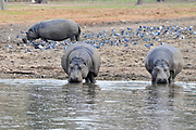 Hippopotamuses in a watering hole