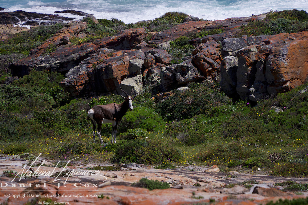 Bontebok, a male in Table Mountain National Park, South Africa.