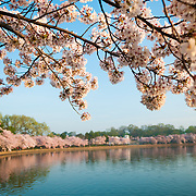 Cherry blossoms lining the perimeter of the Tidal Basin in Washingotn DC. The Yoshino Cherry Blossom trees lining the Tidal Basin in Washington DC bloom each early spring. Some of the original trees from the original planting 100 years ago (in 2012) are still alive and flowering. Because of heatwave conditions extending across much of the North American continent and an unusually warm winter in the Washington DC region, the 2012 peak bloom came earlier than usual.
