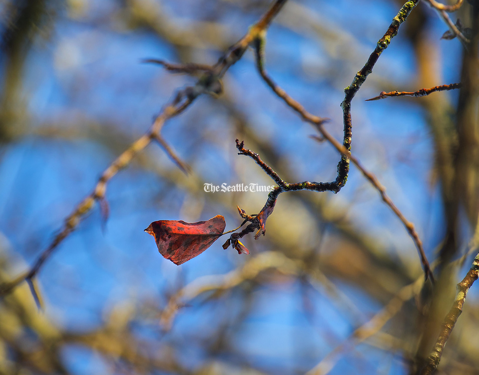 A red leaf is all that's left on this tree along the wetlands at Juanita Bay Park in Kirkland. (Mike Siegel / The Seattle Times)