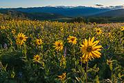 Methow Valley and North Cascade Mountains, arrowleaf balsamroot (Balsamorhiza sagittata) and lupine (Lupinus spp.) wildflowers, evening light, June, Okanogan County, Washington, USA