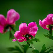 Three purple peonies. Photo by Adel B. Korkor.