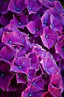 purple and blue Nikko Blue Hydrangea (Hydrangea macrophylla) macro