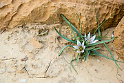 Desert Bulb (Androcymbium palaestinum) Photographed in Israel in January. A Delicate showy perennial, with a small underground corm, covered by dull black scales
