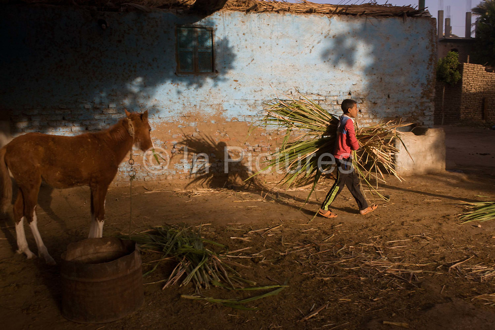 Mustafa, a young Egyptian brings soft sugarcane branches for horses and camels at the Pharaohs Stable, a business dependent on tourism based in the village of Bairat on the West Bank of Luxor, Nile Valley, Egypt. Workers of all ages like this are dependent of the tourism industry and therefore badly affected by the downturn. According to the country's Ministry of Tourism, European visitors to Egypt is down by up to 80% in 2016 from the suspension of flights after the downing of the Russian airliner in Oct 2015. Euro-tourism accounts for 27% of the total flow and in total, tourism accounts for 11.3% of Egypt's GDP so communities like this are suffering economically, as a result.