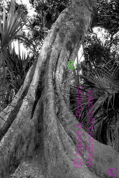 Base of live oak tree, showing butresses that are common in wetland trees, Highlands Hammock State Park, Florida, © David A. Ponton