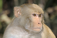 Rhesus Macaque Macaca mulatta Length 40-50cm Familiar south Asia primate that lives in large troops, often alongside people. Has grey-brown fur and pink, hairless face. Diet is omnivorous.