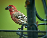 House Finch. Image taken with a Nikon D850 camera and 600 mm f/4 VR lens and 2.0x TCE-III teleconverter.