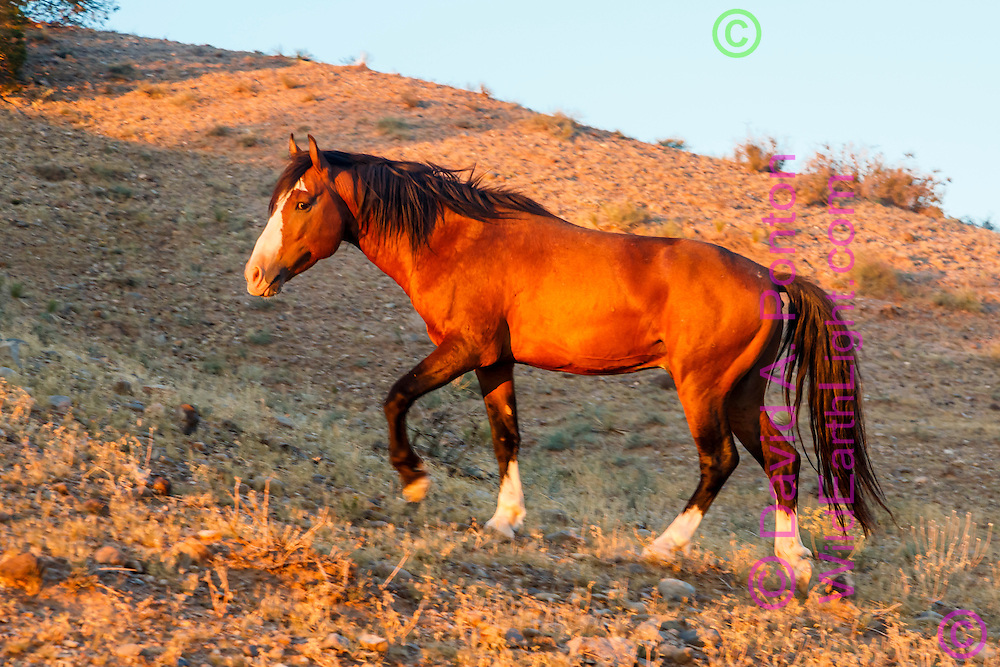 Mustang stallion walking up hill in New Mexico landscape near Placitas, © David A. Ponton