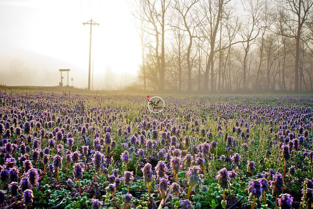 Morning Glory Mist 2