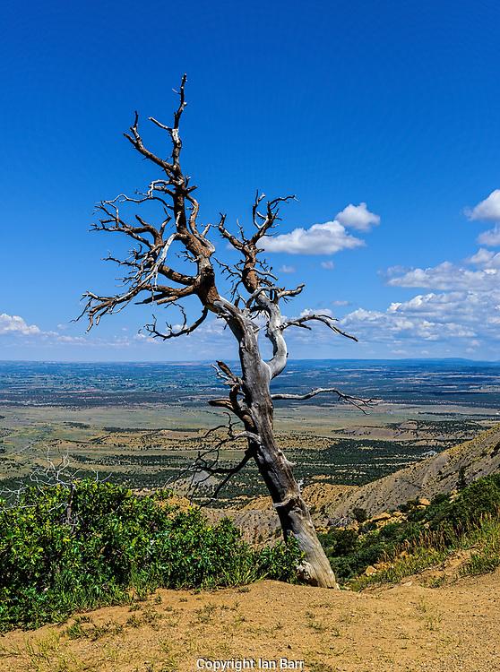 Dead tree on Knife Edge Rd,Mesa Verde National Park,Colorado.