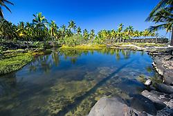 He-lei-palala, old Hawaiian freshwater fish pond, and Coconut Palm grove, Cocos nucifera, Pu`uhonua o Honaunau or Place of Refuge National Historical Park, Honaunau, Big Island, Hawaii