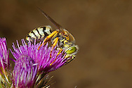Bembix rostrata - a protected species of sand wasp