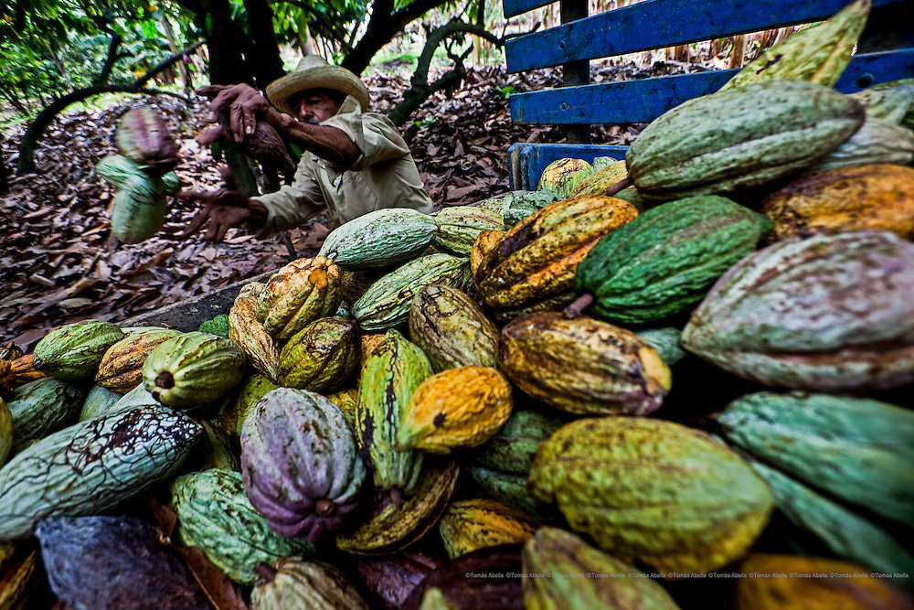 Harvest has lasted for a whole week and Manuel Garcia has been stacking up the cocoa pods in different parts of the plantation.  Mazatán. Mexico.
