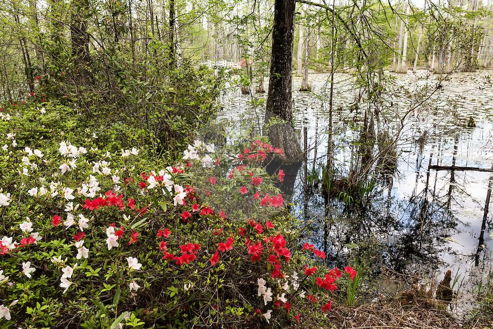 Azaleas blooming along the edge of blackwater bald cypress and tupelo swamp during spring at Cypress Gardens April 9, 2014 in Moncks Corner, South Carolina.