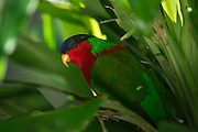 Collared Lory (Kula, Fiji Lory)(Phigys solitarius)<br /> Fiji. South Pacific<br /> Endemic to Fiji,<br /> captive