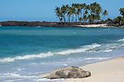 Hawaiian monk seal, Neomonachus or Neomonachus schauinslandi, ( endemic and Critically Endangered species), 10 year old female resting on beach at Mahai'ula, Kekaha Kai State Park, North Kona, Hawaii ( the Big Island )