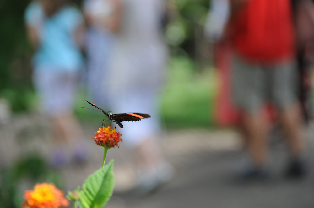 Tardes de primavera | Mariposa y lantana / Causeway, Panamá.<br /> <br /> Edición de 5 | Víctor Santamaría.<br /> <br /> Sobre la mariposa:<br /> <br /> Mariposa Topacio de Bandas Naranja / Orange-striped Tanmark | Emesis cypria.<br /> <br /> Sobre la planta:<br /> <br /> Lantana camara sanguinea.<br /> <br /> Distintas variedades de lantana disponen de una coloración diferente en sus flores. Algunos tipos son:<br /> <br /> Lantana camara sanguinea, flores de color amarillo, tornándose al rojo cuando maduran y coexistiendo en la cima.<br /> Lantana montevidensis, flores de color lila.<br /> Lantana camara flava, flores de color amarillo.<br /> Lantana camara victoria, flores de color blanco con limbo central amarillo.<br /> Lantana camara mutabilis, flores que nacen blanquecinas, tornándose al amarillo y al lila. <br /> <br /> Edición de 5 | Víctor Santamaría.
