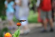 Tardes de primavera   Mariposa y lantana / Causeway, Panamá.<br /> <br /> Edición de 5   Víctor Santamaría.<br /> <br /> Sobre la mariposa:<br /> <br /> Mariposa Topacio de Bandas Naranja / Orange-striped Tanmark   Emesis cypria.<br /> <br /> Sobre la planta:<br /> <br /> Lantana camara sanguinea.<br /> <br /> Distintas variedades de lantana disponen de una coloración diferente en sus flores. Algunos tipos son:<br /> <br /> Lantana camara sanguinea, flores de color amarillo, tornándose al rojo cuando maduran y coexistiendo en la cima.<br /> Lantana montevidensis, flores de color lila.<br /> Lantana camara flava, flores de color amarillo.<br /> Lantana camara victoria, flores de color blanco con limbo central amarillo.<br /> Lantana camara mutabilis, flores que nacen blanquecinas, tornándose al amarillo y al lila. <br /> <br /> Edición de 5   Víctor Santamaría.
