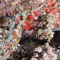 Banded Coral Shrimp, Stenopus hispidus, (Olivier, 1811), Maldives