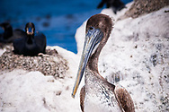 A California brown pelican (Pelecanus occidentalis californicus) rests on the rocky wall of the Monterey harbour in California