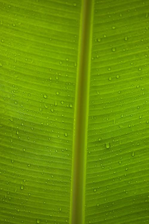 Fare, Huahine, French Polynesia, banana leaf detail, raindrops, backlight