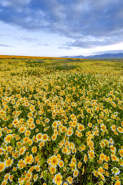 Tidy-tips and Passing Clouds at Sunrise, Carrizo Plain National Monument, California