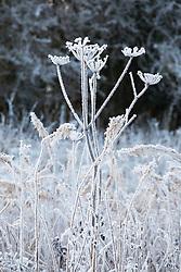 Hoar frost on the seedheads of Hogweed, Heracleum sphondylium
