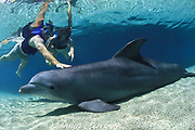 visitors touch a captive bottlenose dolphin, Tursiops truncatus, during swim with dolphins program at Dolphin Quest at the Hilton Waikoloa Village, South Kohala, Kona Coast, Hawaii Island, USA